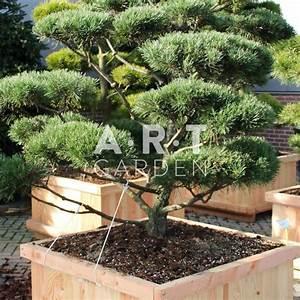 Arbre En Nuage : arbres en nuage pinus mugo gnom 150 175 cm caisse bois ~ Melissatoandfro.com Idées de Décoration