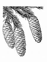 Cone Pine Coloring Printable sketch template
