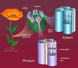 Homework Help Earth Science Xylem
