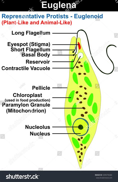 Animal Like Protists Diagram
