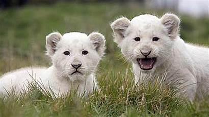 Lion Charming Wallpapers Animals Cub Animal Desktop