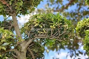 Arbre En Nuage : la taille en nuage quels arbustes comment faire ~ Melissatoandfro.com Idées de Décoration