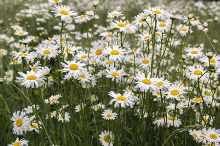 Sul nostro sito puoi ordinare i fiori bianchi che. Ipastock - Leucanthemum vulgare prati fiori selvatici con petali bianchi e centro giallo in fiore