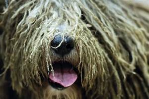 westminster kennel club dog show debuts 7 new breeds