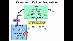 Overview Of Cellular Respiration  U0026 Electron Carriers