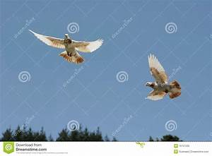 Brown And White Pigeon Flying Stock Photo - Image of ...