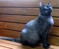 ข้อมูลการเลี้ยงดู แมวไทย 6 สายพันธุ์ ที่คนไทยนิยมเลี้ยง ...