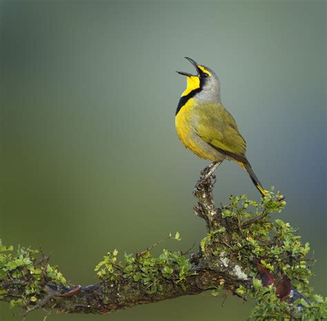 singing bird dris pinterest