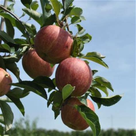 Gala Apple Trees For Sale - Gala Apple Trees from Stark Bros