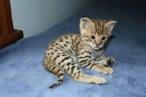 Baby Savannah Cat