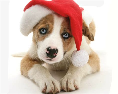 4k, 5k, 6k, 7k, dogs, christmas, snowflakes, gifts, 2018. Cute Puppy with Santa Hat HD Wallpaper | Background Image | 2000x1600 | ID:784163 - Wallpaper Abyss