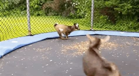 Goats GIF - Find & Share on GIPHY