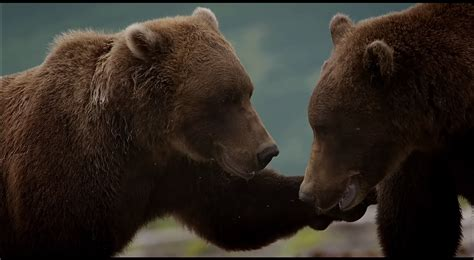 screenshots  disneynatures bears