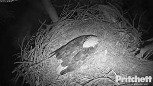 Watch Live  Florida Bald Eagles Await Arrival Of Two Eaglets