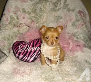 Micro teacup chihuahua longcoat female Lilly Lee 3 lbs ...