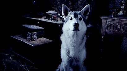Husky Shepherd German Mix Wolf Hybrid