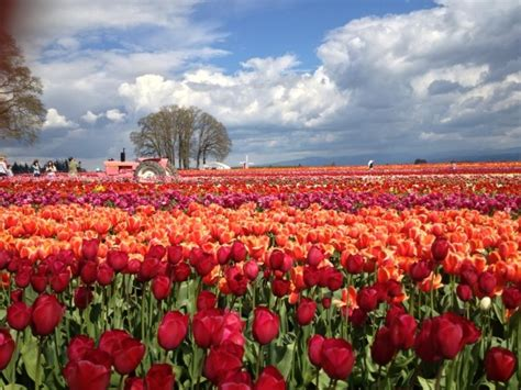 tulip farms in usa 15 most picturesque flower fields in te world