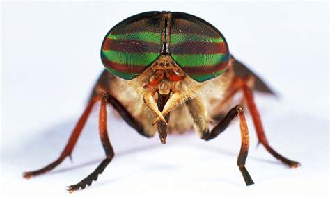 vampire horseflies warning issued  brits