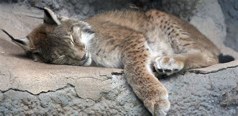 §6705 Animals Of California Declared To Be Endangered Or