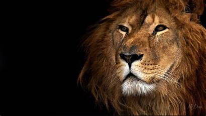 Lion Royalty Wallpapers Vector Psd