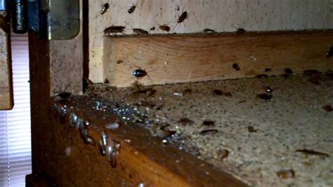 german roach infest kitchen counters youtube
