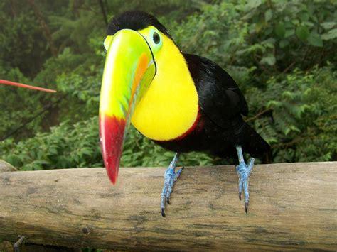 toucans, Animals, Birds Wallpapers HD / Desktop and Mobile ...