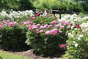 Peony Gardens, Nichols Arboretum (University of Michigan ...