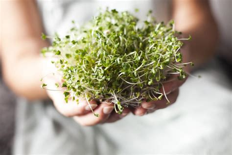 broccoli sprout extract    treat type  diabetes