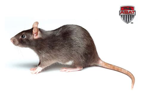 rat en anglais le rat une peur l 233 gendaire