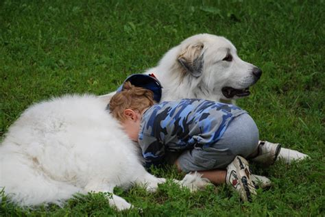 great pyrenees shedding in clumps best dogs for children
