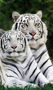 Two wight tigers I didn't take this picture | Binatang ...
