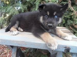 Husky Wolf Hybrid. NEED. | furry friends | Pinterest