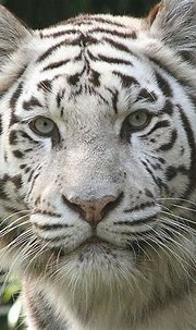 Fun & Interesting Facts About White Tigers | Tiger ...