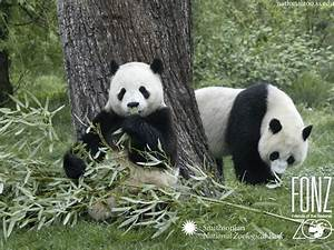 Panda Wallpapers ~ High Definition Wallpapers|Cool ...