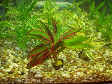 les plantes qu il ne faut pas acheter aquariums de v 233 ronique