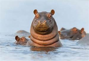 Hippo emerged from water : photoshopbattles