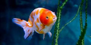 The Great Goldfish Attention Span Myth  U2013 And Why It U2019s