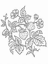 Strawberry Coloring Pages Bush Printable Fruit Embroidery Drawing Strawberries Crafts Cross Leaves Stitch Patterns Supercoloring Hand Designs Select Animals Nature sketch template