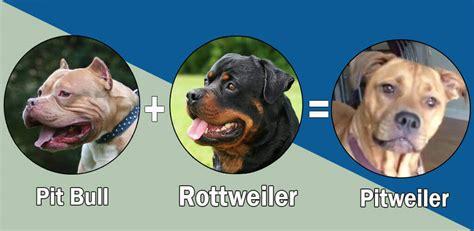 top 10 rottweiler cross breeds mix breeds