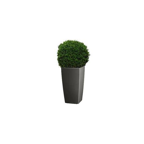buis boule 40 45 cm rempotage plantes et jardins
