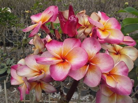 Plumerias (also Called Frangipani) Are Trees With Fragrant