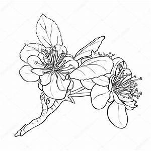 Dessin Fleur De Cerisier Japonais Noir Et Blanc : flor dibujo de cerezo archivo im genes vectoriales ~ Melissatoandfro.com Idées de Décoration