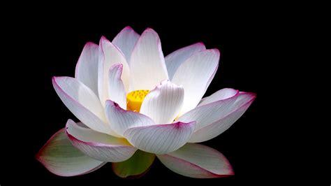 Lotus wallpaper - backiee