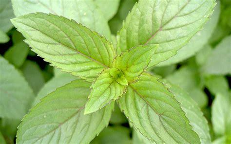 Duftpflanzen Für Die Wohnung by Pfefferminz Pflanzen Pflanzen F 252 R Nassen Boden