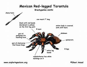 Tarantula  Mexican Red