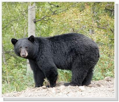 Virginia Bears Bear Northern Mind Dgif Gov