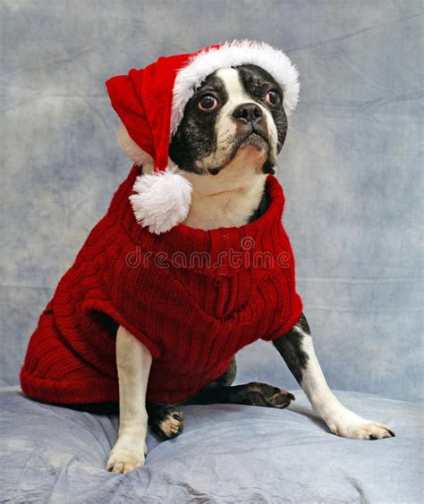 Terrier Dressed As Santa Claus Stock Photo Boston Terrier Dressed For Royalty Free Stock