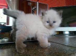 ragdoll cats for ragdoll kittens for larbert stirlingshire pets4homes
