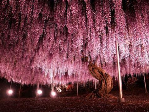 arbre japonais rose du japon  des fleurs