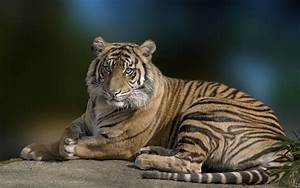 Tiger with blue eyes Full HD Wallpaper and Background ...